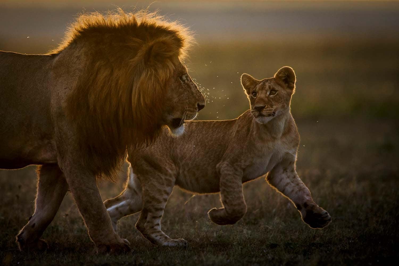 Lion King dhe shakaxhiu i tij