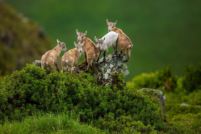 Një rast i leucizmit në një grup të dhjamë të rinj (Carpa Ibex)