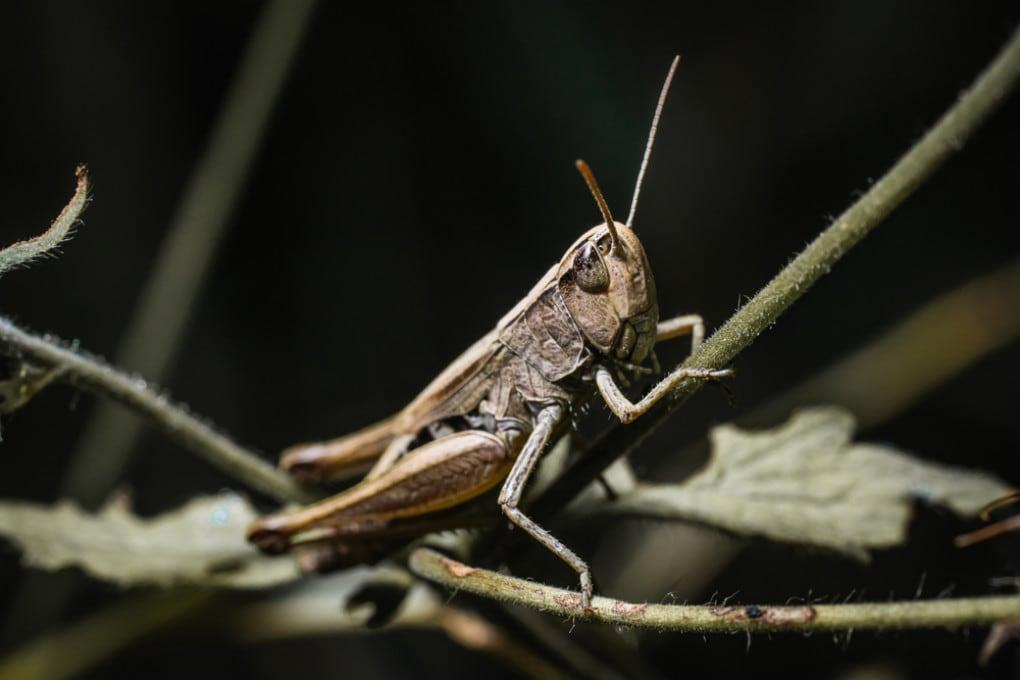 Una locusta bruna (Locustana pardalina).