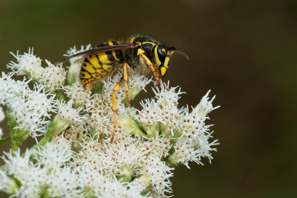 Anche le vespe sono importanti per gli ecosistemi