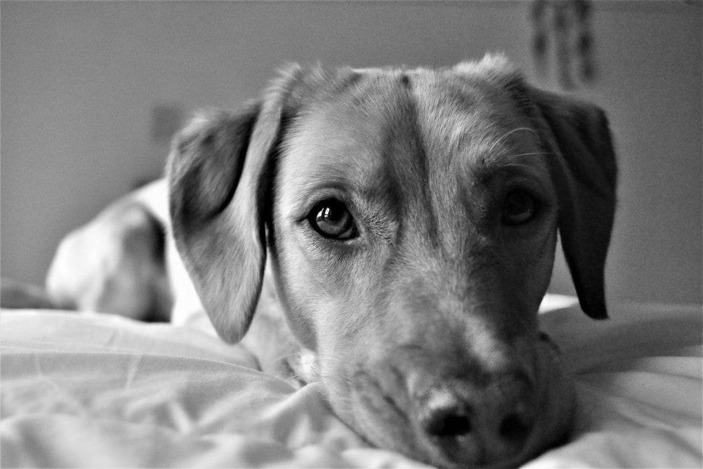 La forma del muso, ma anche età e razza influiscono sulla capacità del cane di comunicare con lo sguardo.