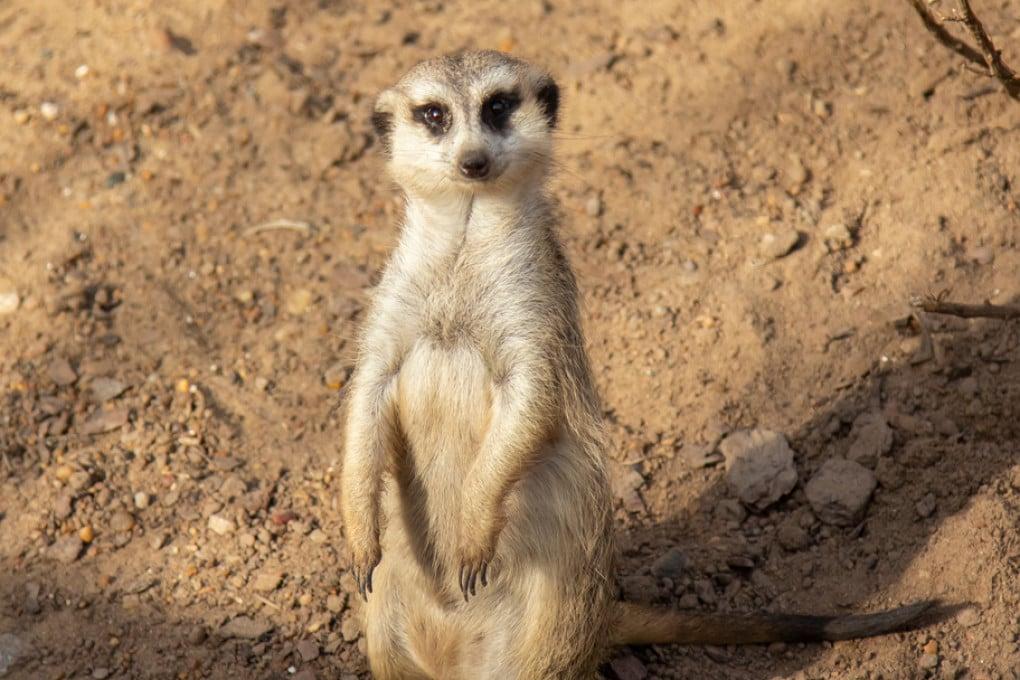 Il suricato (Suricata suricatta) è una mangusta diffusa nell'Africa meridionale.