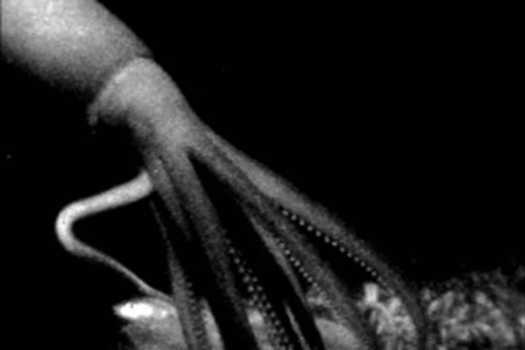 Un calamaro gigante nelle profondità oceaniche.