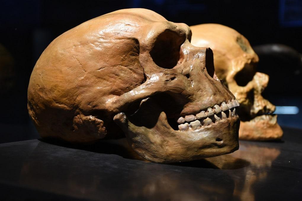 Cranio di Neanderthal, in primo piano, e di sapiens.