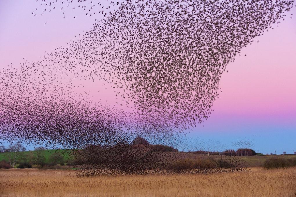 Gli storni (nella foto al tramonto, nei cieli di Scozia) sono ben rappresentati nel nuovo censimento degli uccelli selvatici.