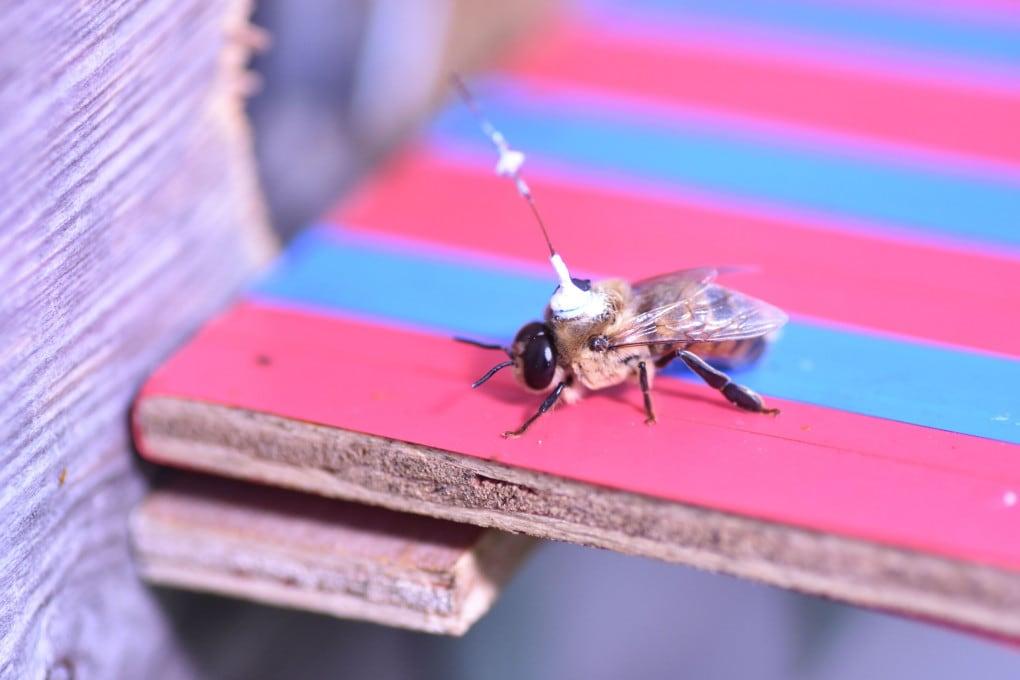 Maschi di ape muniti di zainetto transponder. Non il massimo della comodità, per accoppiarsi.
