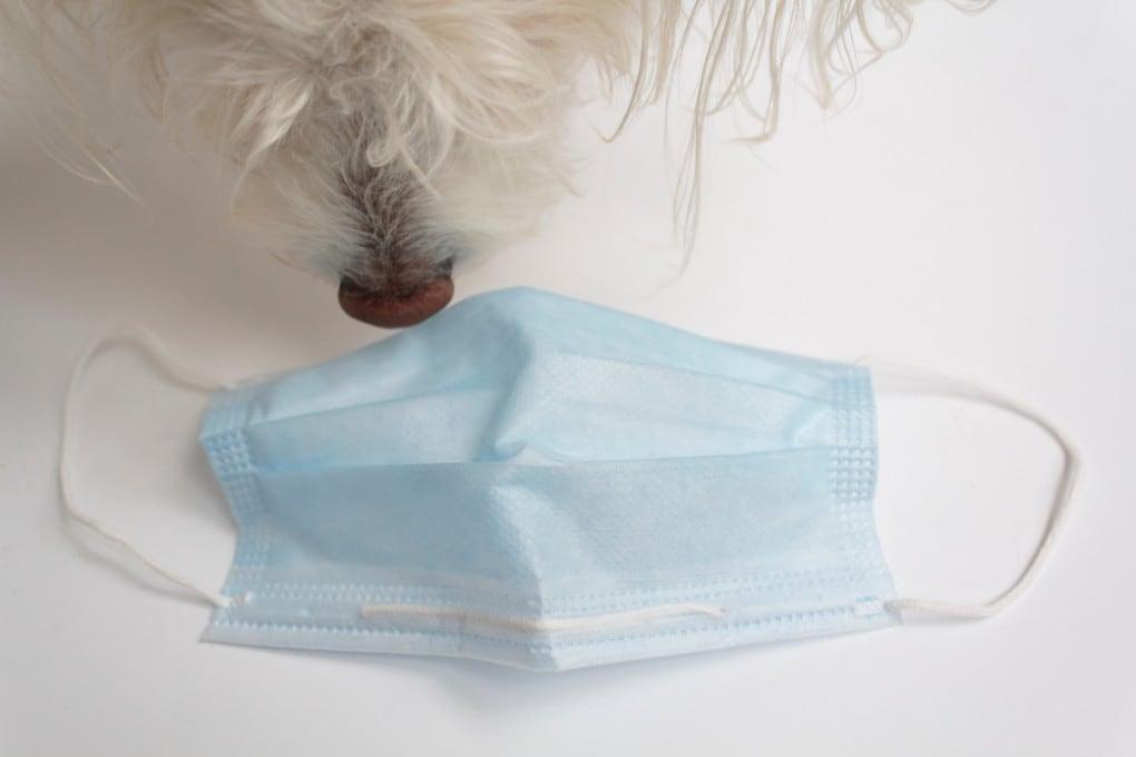 Difficilmente l'infezione da covid sfugge al prodigioso olfatto dei cani.