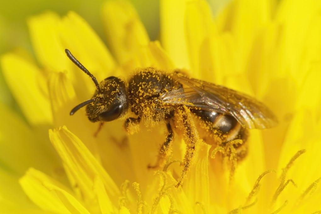 Non solo polline: il corpo delle api intrappola anche microplastiche.
