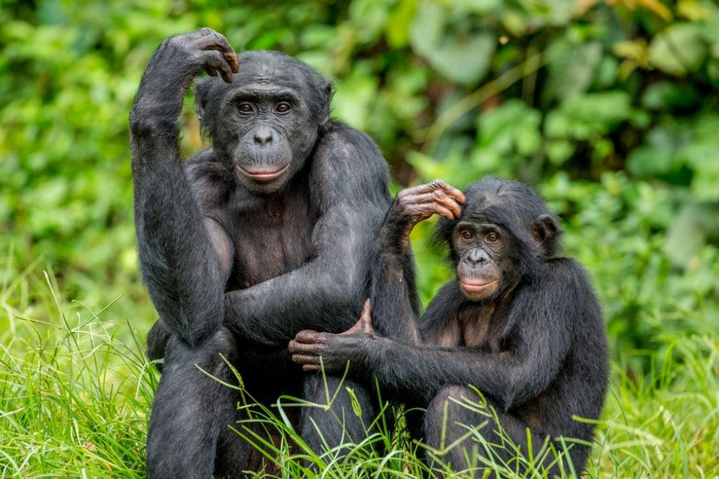 Una mamma di bonobo con il figlio.