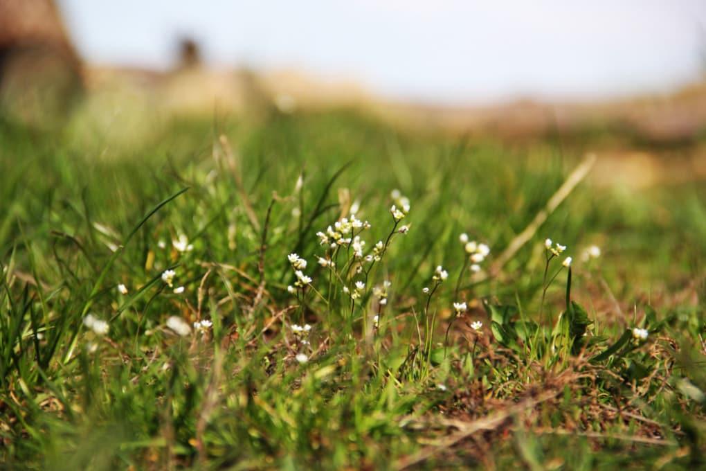 Piante di arabetta comune (Arabidopsis thaliana).