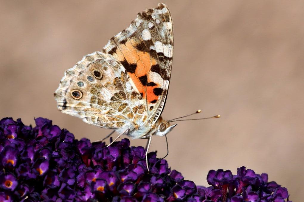 La farfalla che attraversa il Sahara per arrivare nel nord Europa