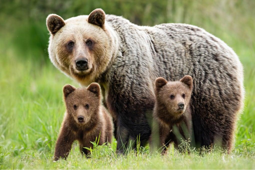 Femmina di orso bruno con i suoi piccoli.