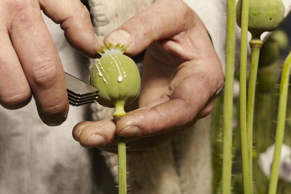 La raccolta del lattice che trasuda dal papavero da oppio.