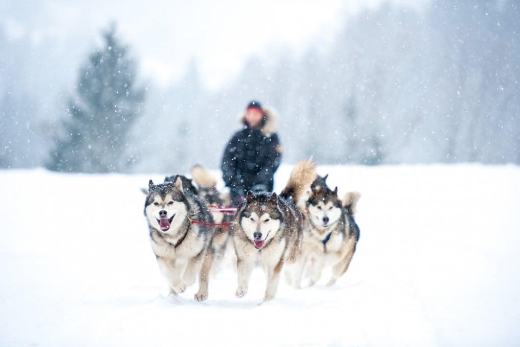 Cani da slitta