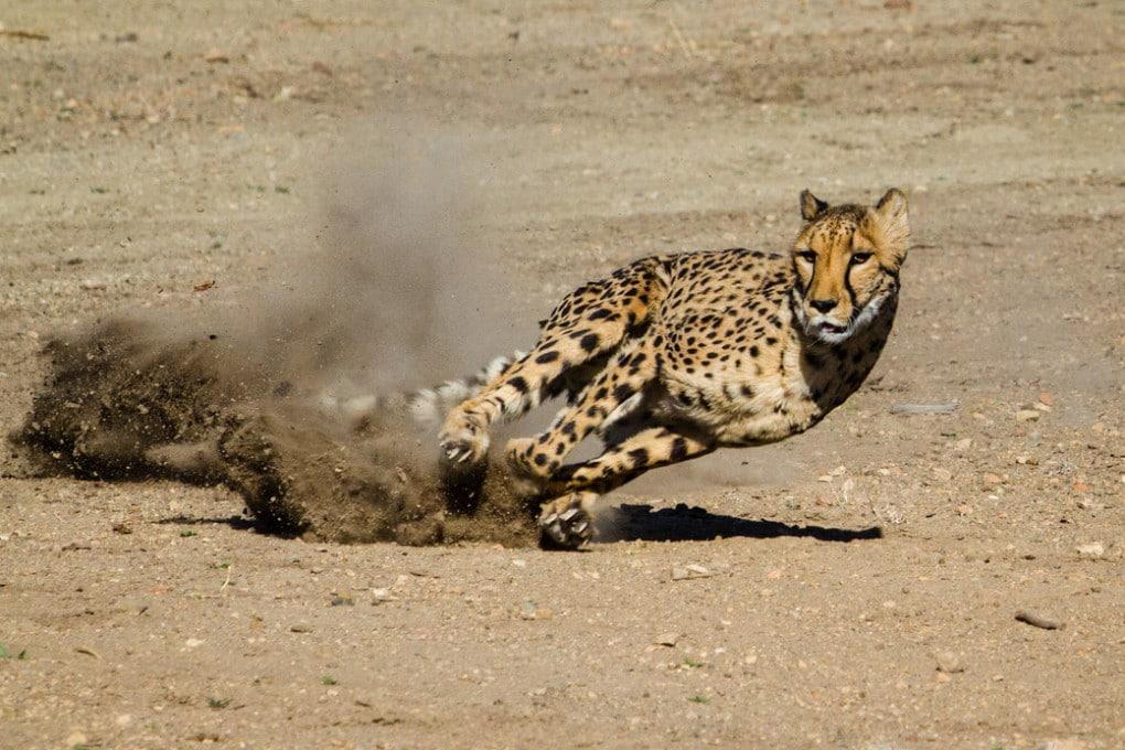 Un ghepardo in corsa può raggiungere i 130 km/h.