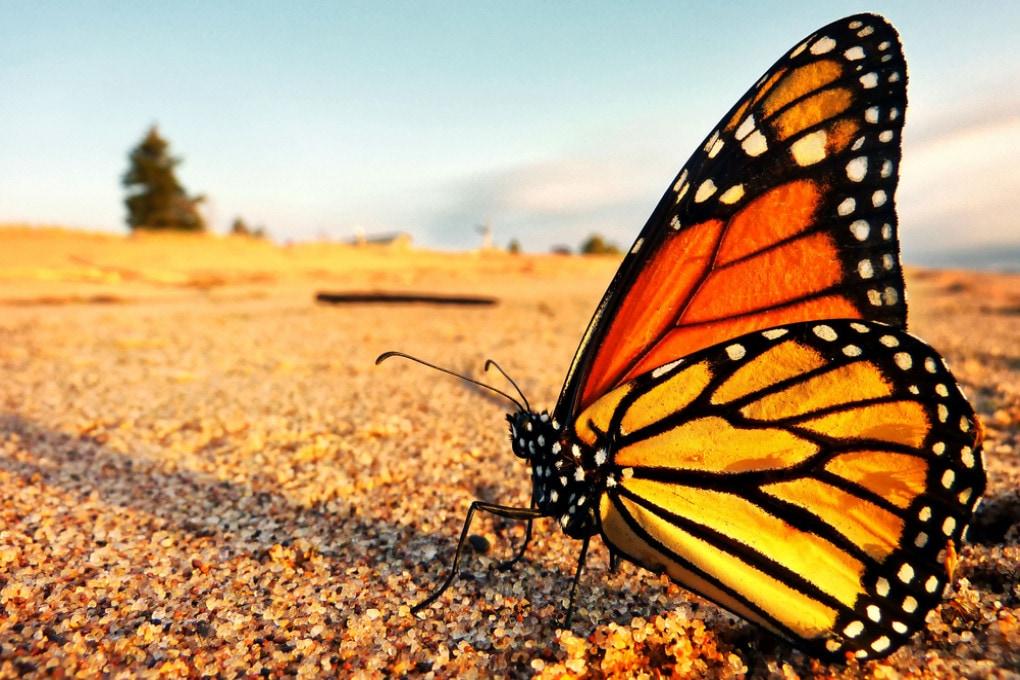 Una farfalla monarca (Danaus plexippus).