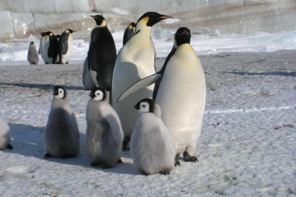 Un gruppo di pinguini imperatore.