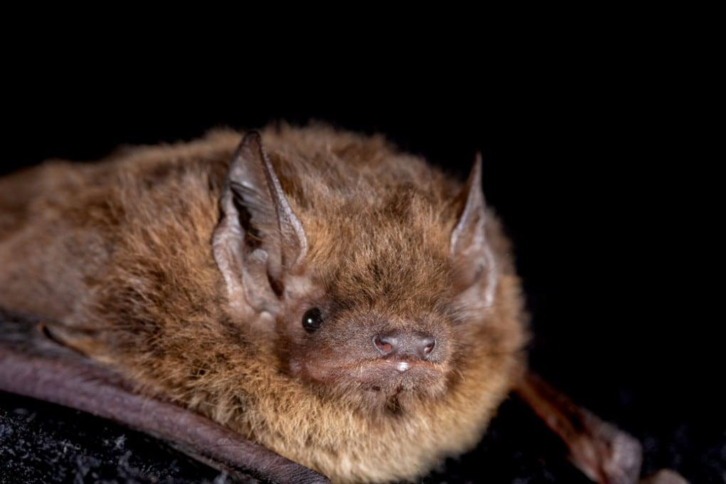 Pipistrello di Nathusius