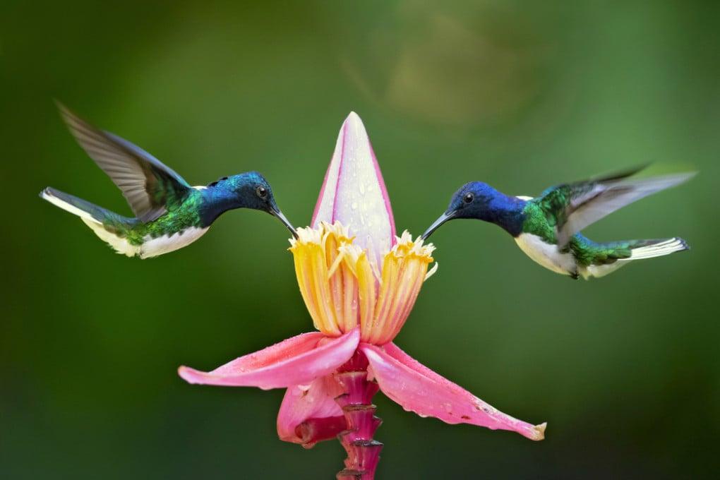 Un colibrì della specie Florisuga mellivora.