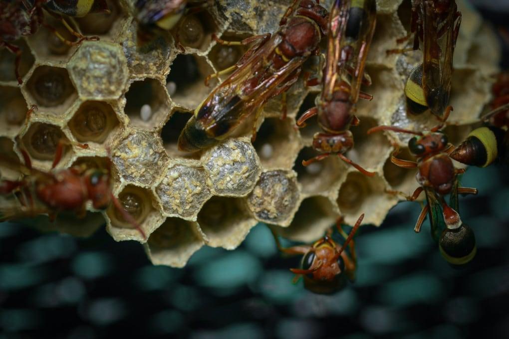 Un nido di vespa cartonaia asiatica (gen. Polistes).