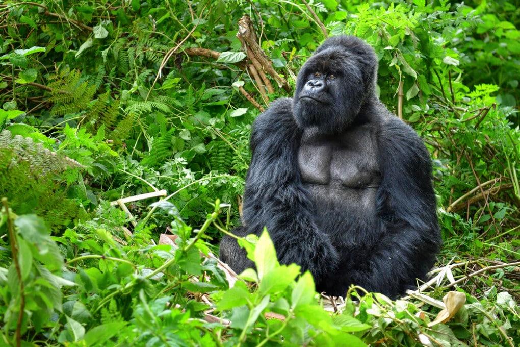 Un gorilla di montagna, una specie a rischio.