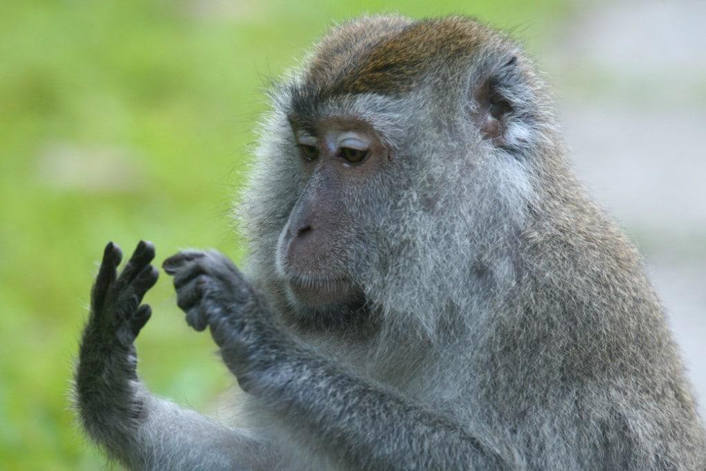 Scimmia che conta