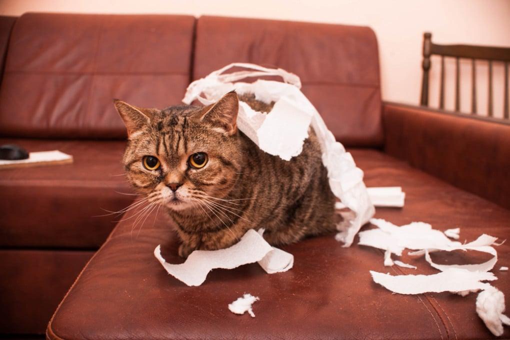 Questo gatto ha il primo tratto della sua personalità (la giocosità) molto sviluppato.