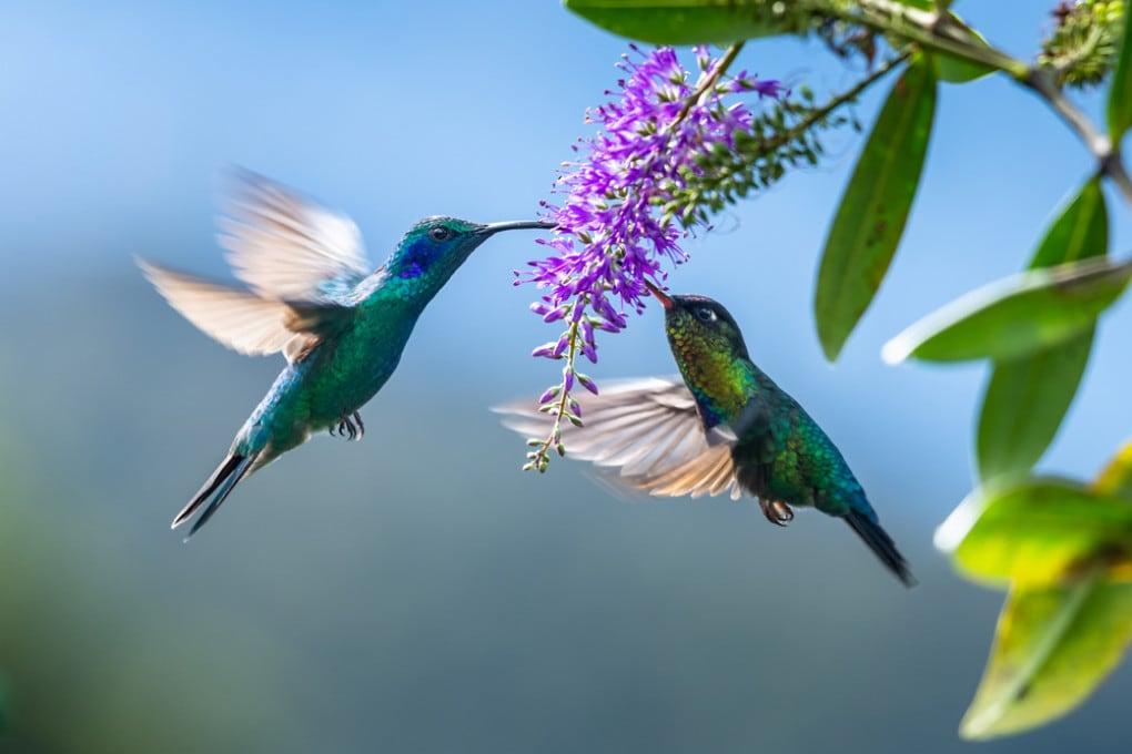 Due colibrì della specie Phaethornis guy.