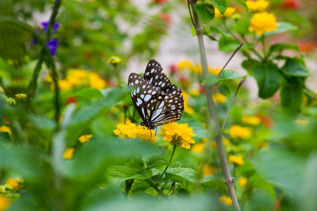 Una farfalla della sottofamiglia Danainae.