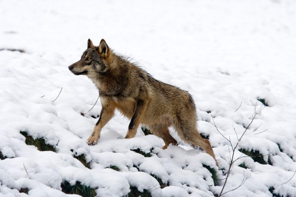 Un lupo iberico (Canis lupus signatus).