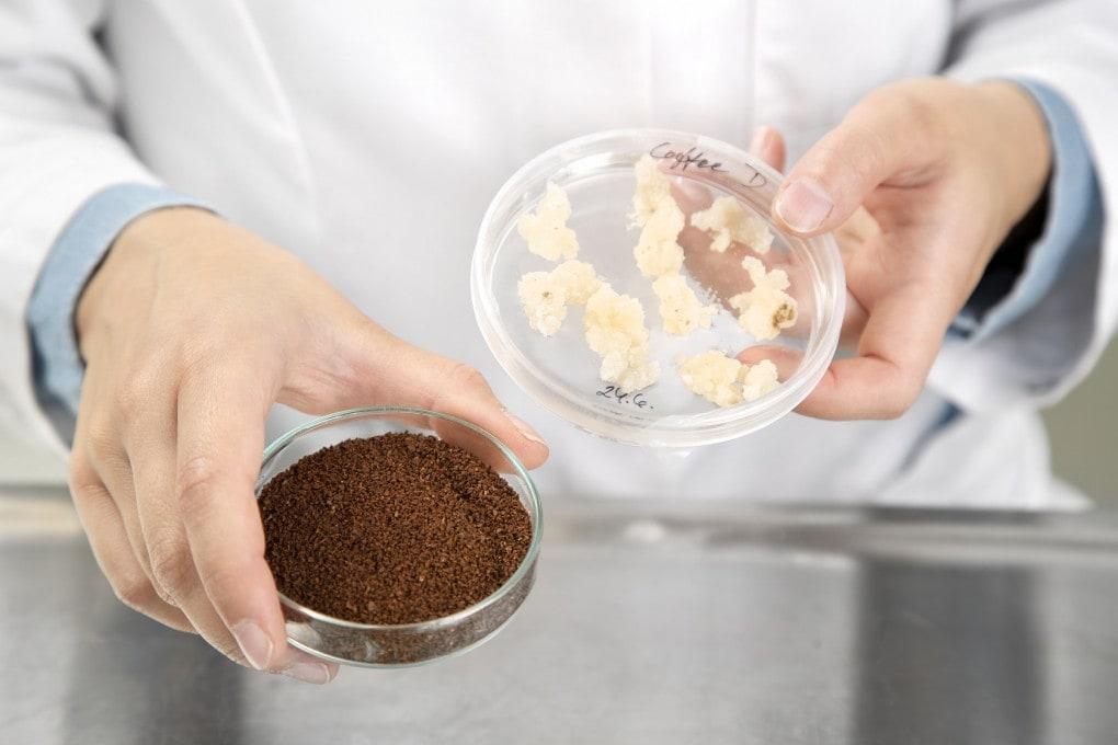 A destra la biomassa ricavata dalla coltura in vitro delle cellule vegetali, a sinistra il caffè ricavato dopo la tostatura.