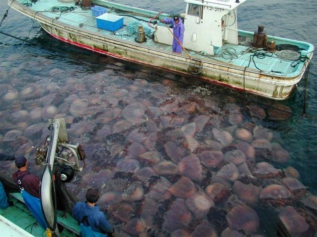L'invasione delle meduse giganti