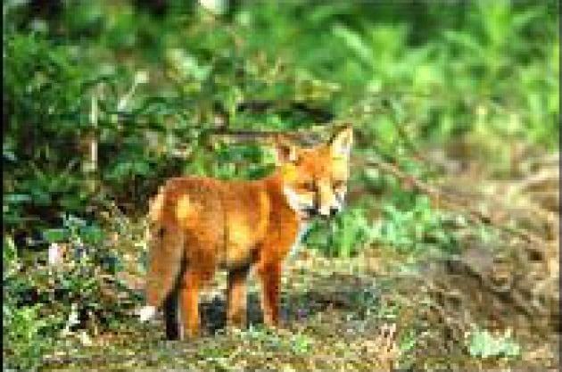 Cacciare la volpe fa bene alla natura