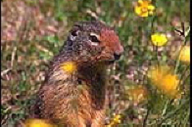 Urla nel silenzio: il vocabolario muto degli scoiattoli