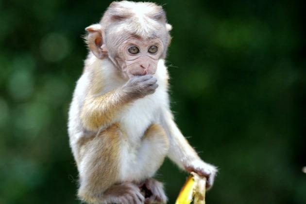Il senso di giustizia delle scimmie