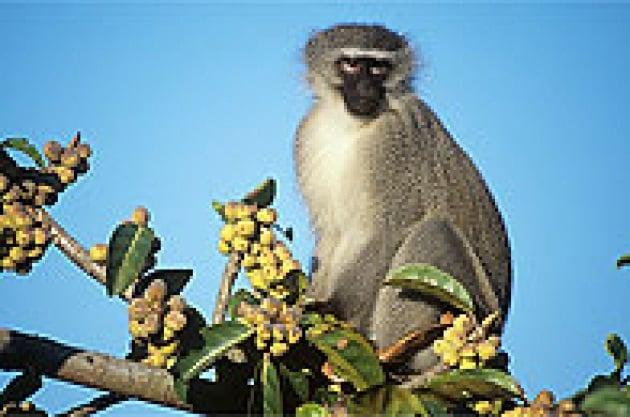 Scimmie condizionate dal clima