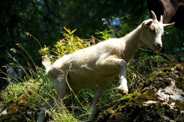 Come fanno le capre ad arrampicarsi sugli alberi?