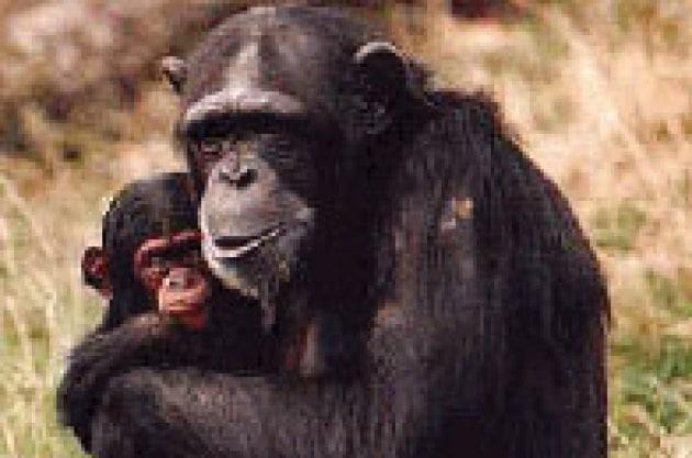 Scimpanzé vecchia fa buona prole