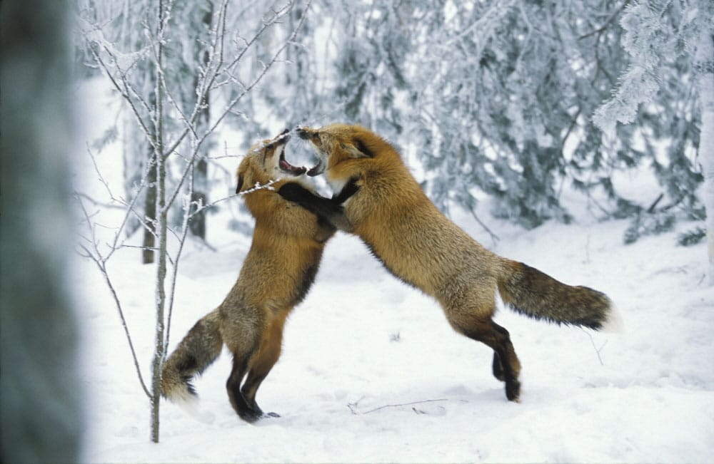Aggressivit e litigi tra gli animali della savana e i - Gli animali della foresta pluviale di daintree ...