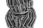 rotiferabdelloidea1_128k