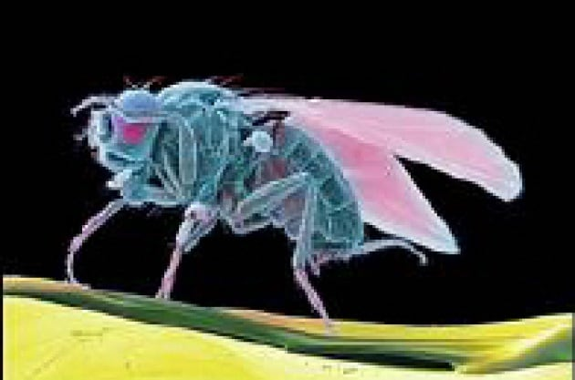 L'elisir di lunga vita per le mosche