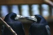 cornacchiecreditchrisbird