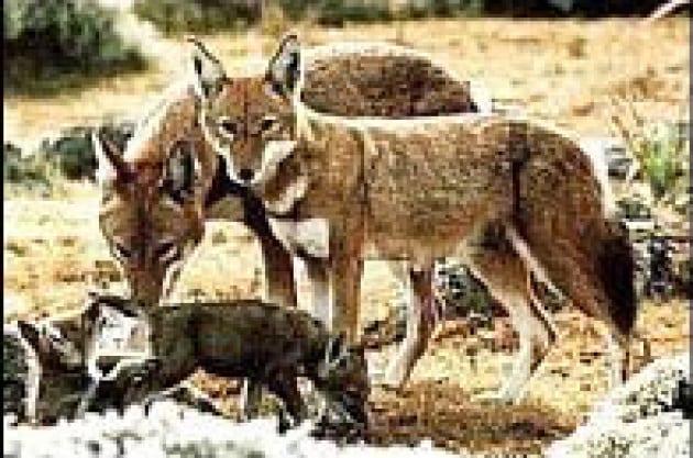 Vaccinare i lupi del Simien
