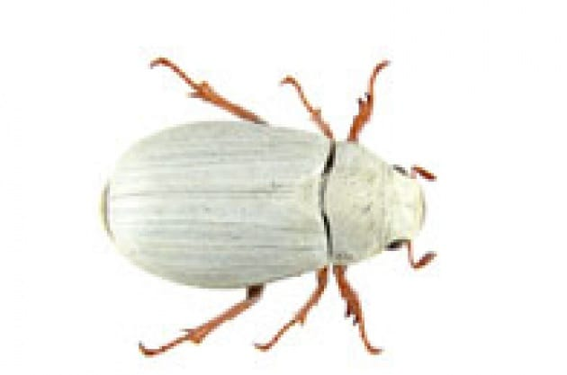 Uno scarabeo che più bianco non si può