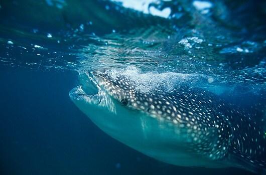 spl_z600231-whale_shark_filter_feeding-spl