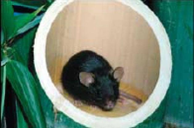 Topi senza padre