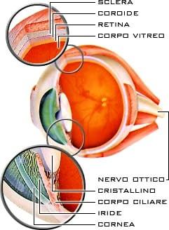 Uno schema dell'occhio umano. Le miodesposie si trovano nel corpo vitreo.