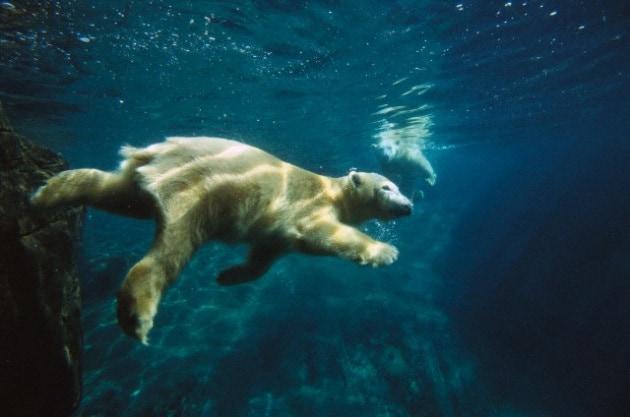 L'orso maratoneta