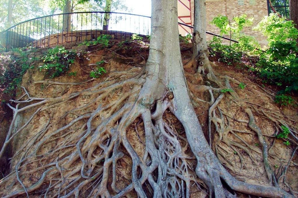 Come fanno le radici a