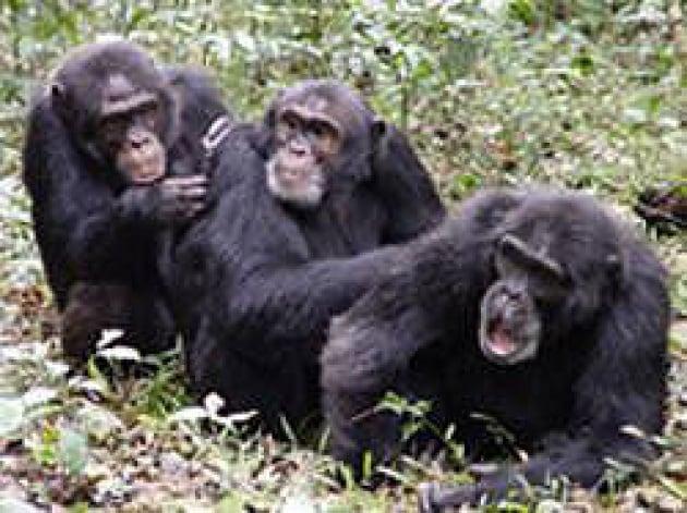 Primati da salvare